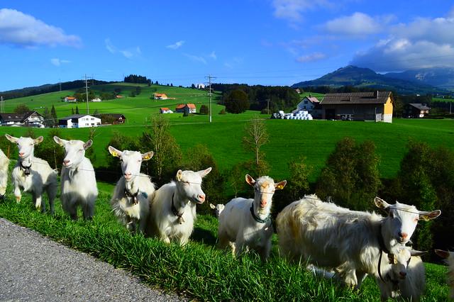 Hoftiere in der Nähe des Sammelplatzes in Appenzell