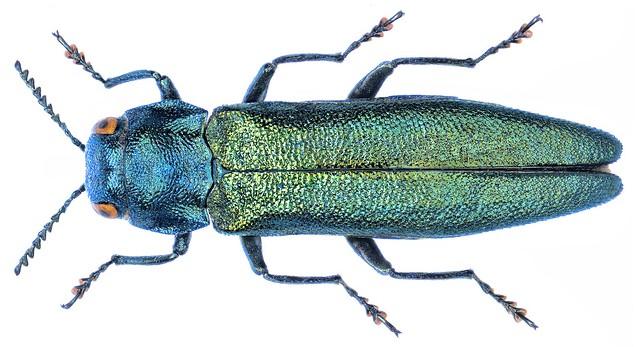 Agrilus subauratus (Gebler, 1833)