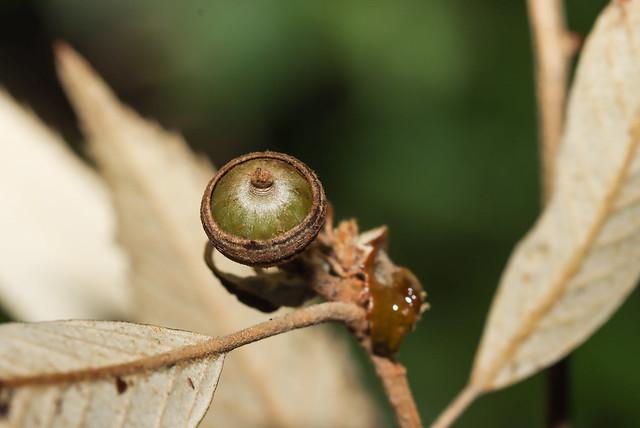 IMG_4037 赤皮 Quercus gilva Blume