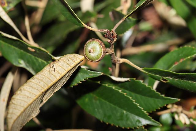 IMG_4034  赤皮 Quercus gilva Blume