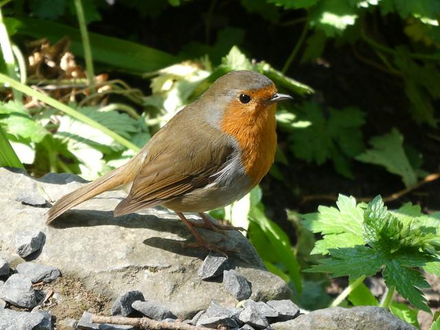 Bird - Robin 210530 Bodnant 2