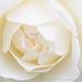 White Rose, 5.3.18