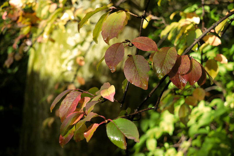 Wet autumn leaves, Central Park