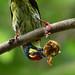 Coppersmith barbet (সেকরা বসন্ত/বসন্ত বাউরি)