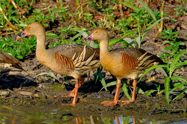 Plumed Whistling Ducks (Dendrocygna eytoni) - South Alligator River, Kakadu National Park, Northern Territory, Australia