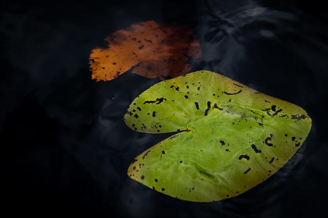 Water Lillies autumn.......