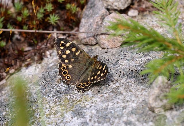 Skovrandøje (Speckled Wood / Pararge aegeria)