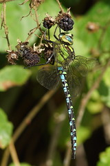 Blaugru00fcne Mosaikjungfer (Aeshna cyanea)