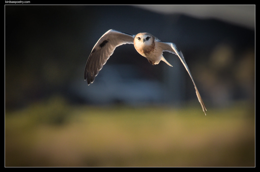 """Black-shouldered Kite: """"Have You Caught My Breakfast, YET!"""