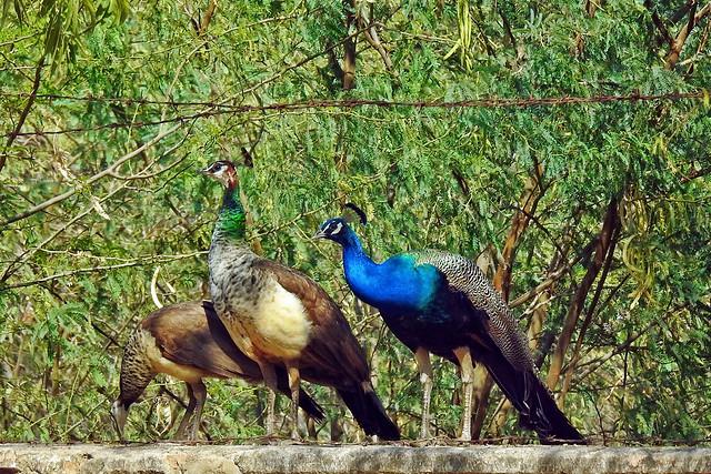 Indian Peafowl !!