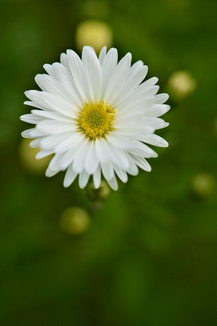 White Aster
