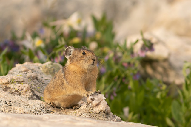 Pika Pose on the Rock