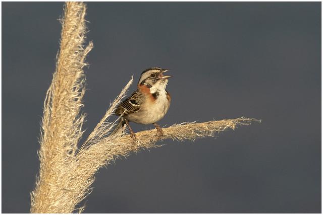 Chingolo -Zonotrichia capensis-