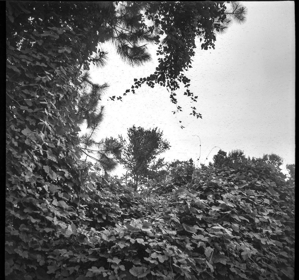 looking up, kudzu-covered landscape, hint of conifer, periphery-Lowe's, West Asheville, NC, Welta Weltur, Fomapn 200, HC-110 developer, 8.17.21