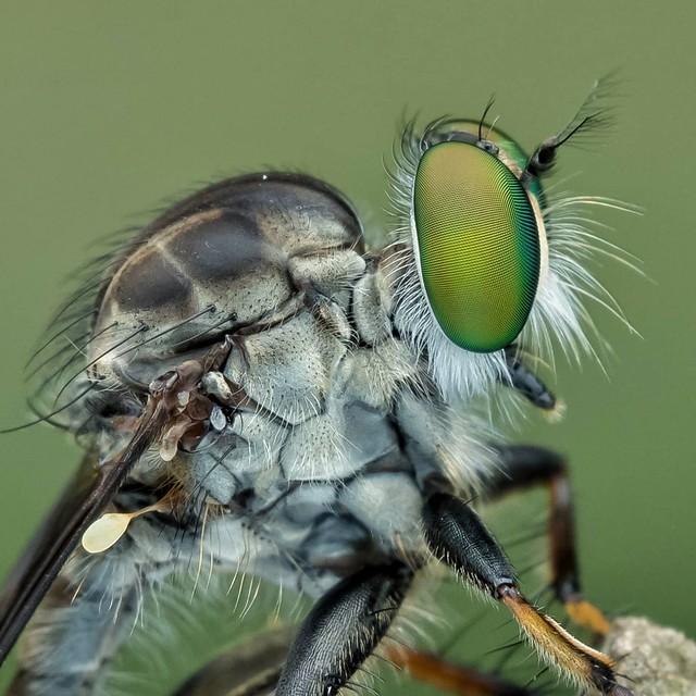 #robberfly