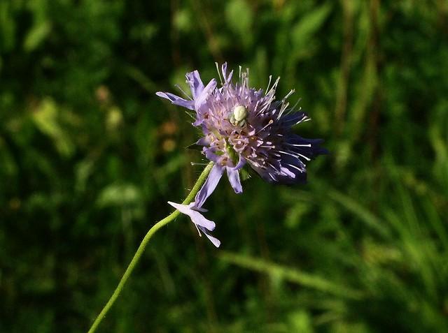 P9190234 Spider on Flower
