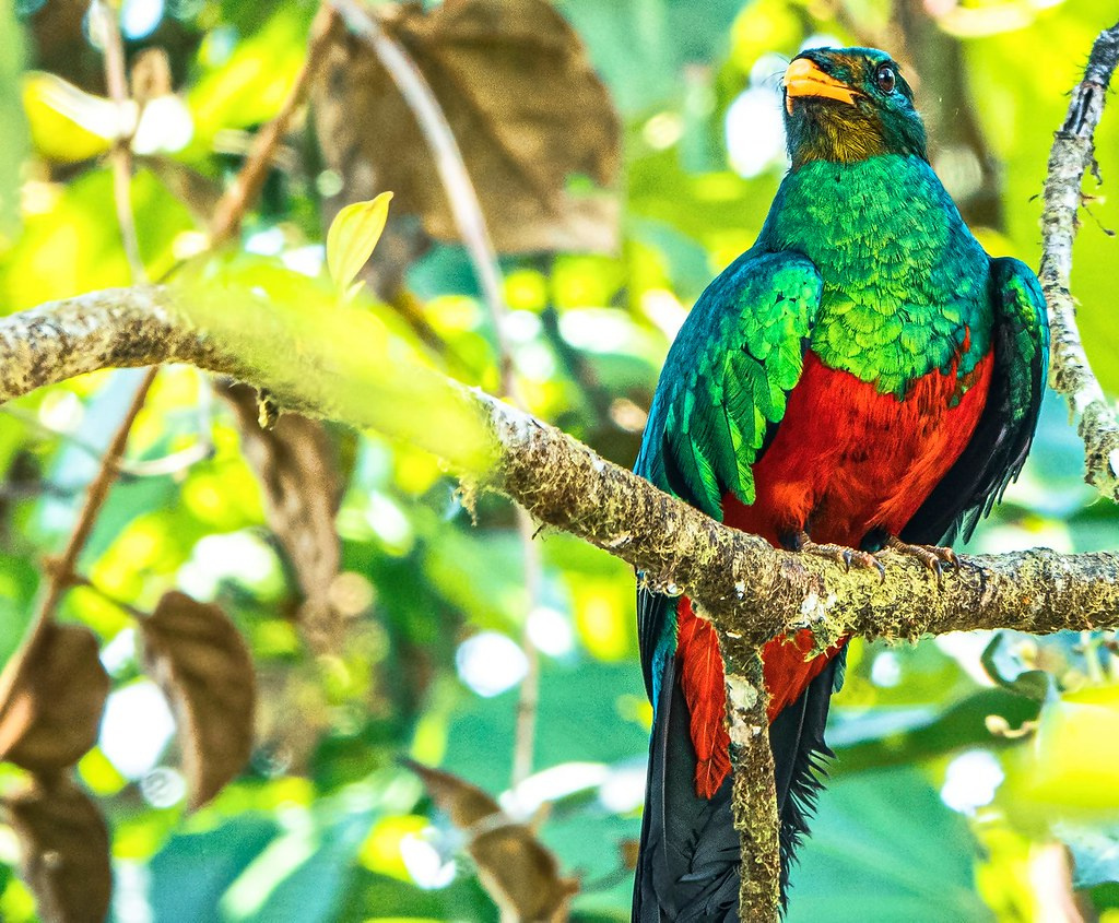 Quetzal- Mindo, Ecuador