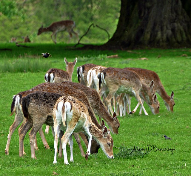 Deer Herd 196chdrcb-1