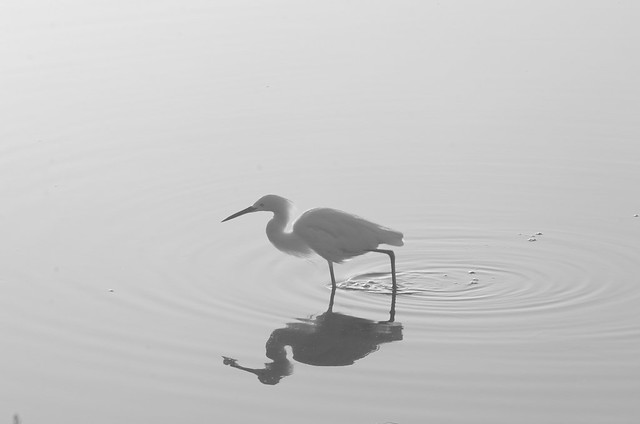 Egret  Reflected