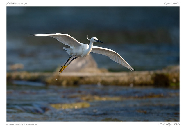 L'aigrette garzette   Little egret