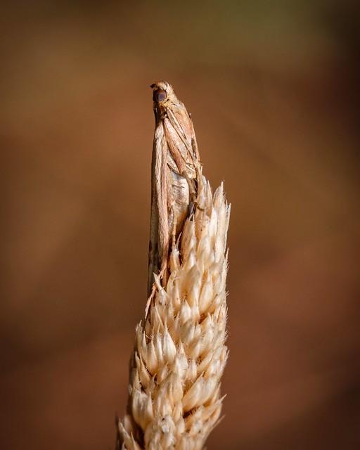 Knot-horn Moth