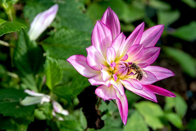 Dahlia mit Biene