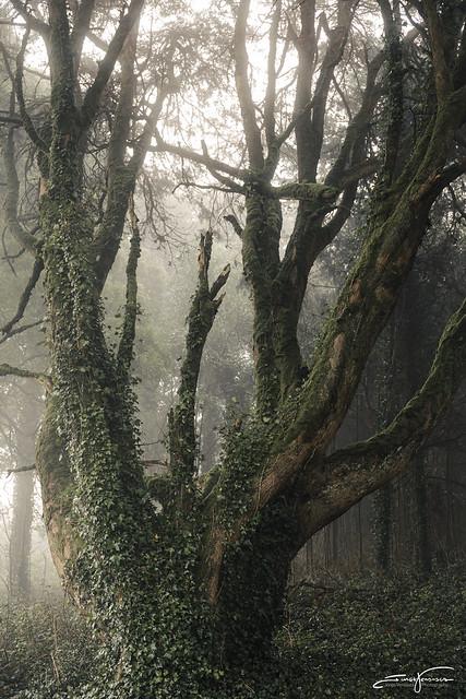 Cedar with ivy during sunrise