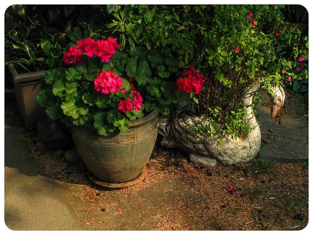 Geraniums and Salvia