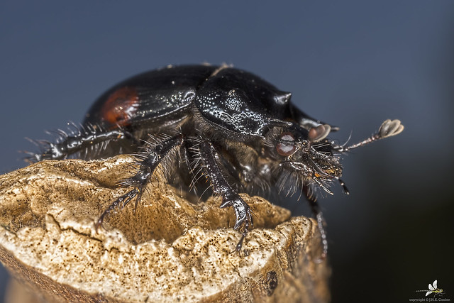 Driehoornmestkever (Typhaeus typhoeus) (1)