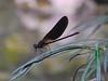Calopteryx haemorrhoidalis I
