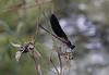 Calopteryx haemorrhoidalis II