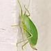 Common True Katydid (Pterophylla camellifolia)