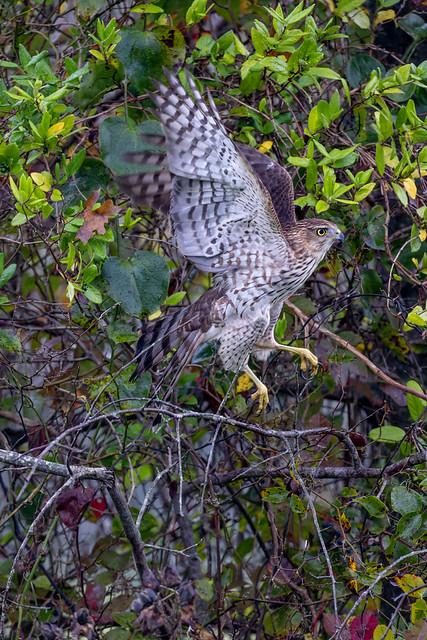 Coopers Hawk hidden in the trees.jpg