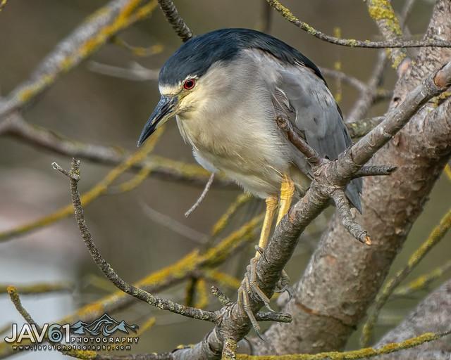 Black-crowned Night Heron (Nycticorax nycticorax)-4161