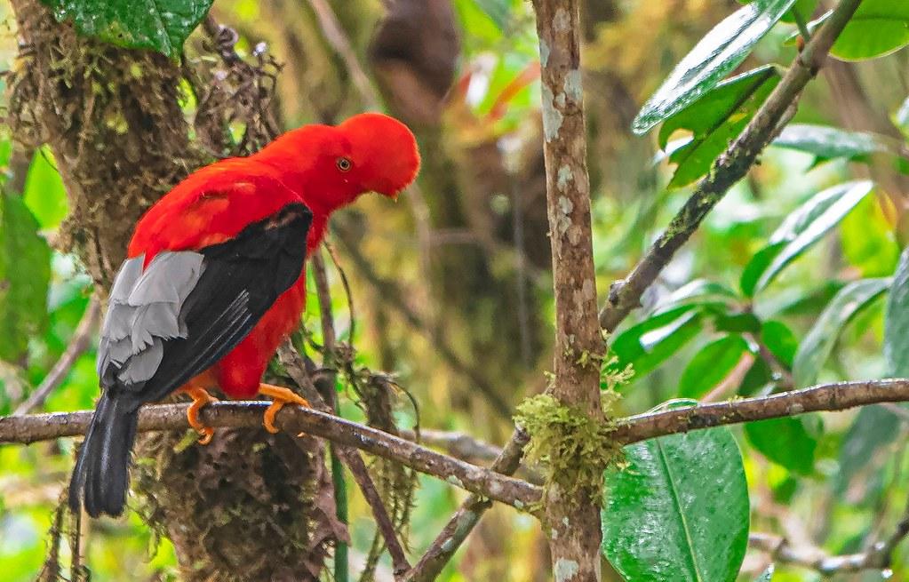 Cock of the Rock- Mindo, Ecuador