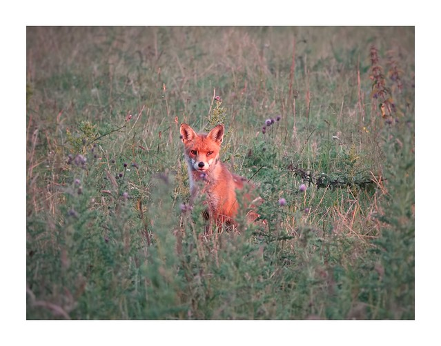 Fox cub in the distance in the evening light!
