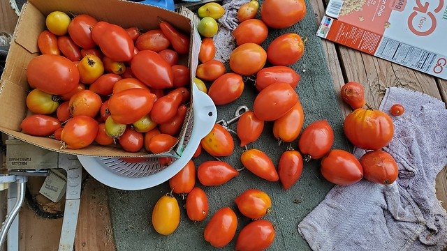 tomatoes_on_deck