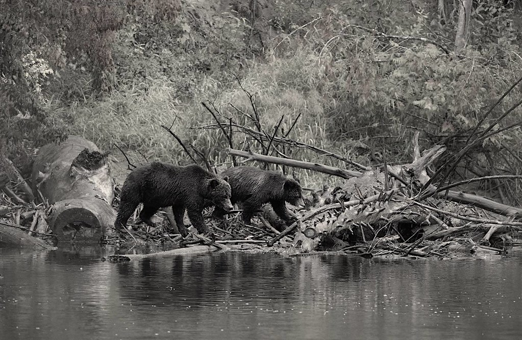 Grizzly Bears in Bella Coola, BC