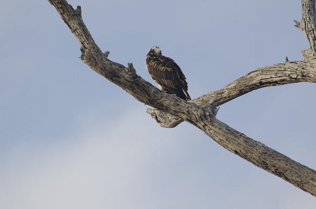 Osprey Waits