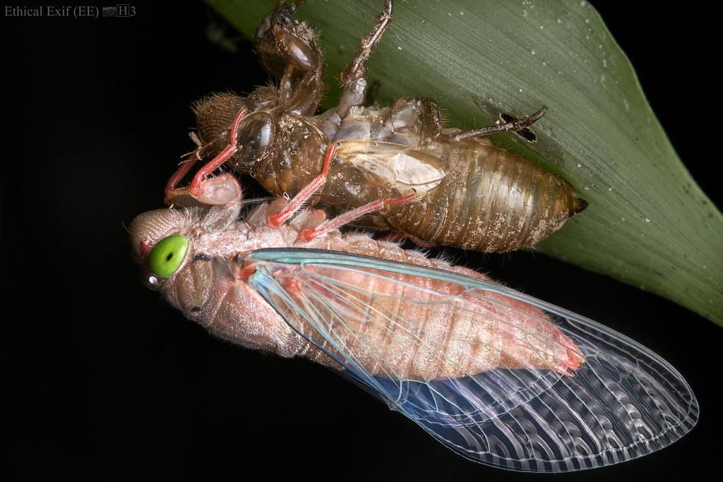 A newly metamorphosed cicada