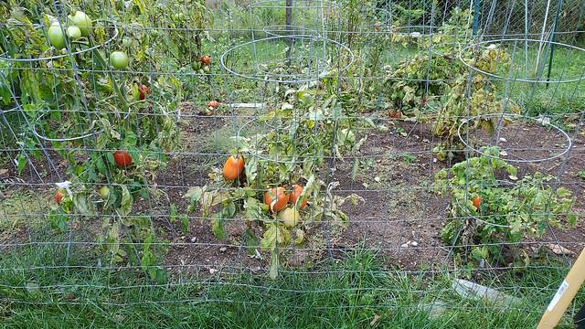 tomatoes_in_garden.jpg