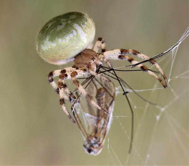 . Four spot Orb-Weaver Spider