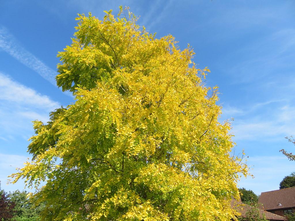 UK - Essex - Wakes Colne - Golden tree