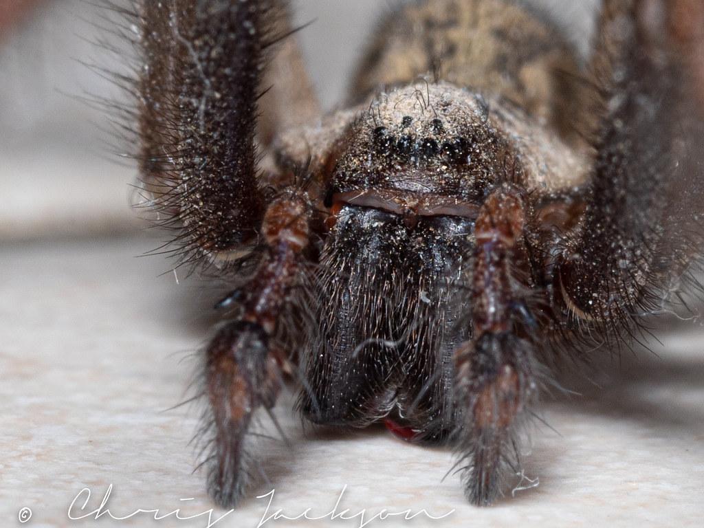 Giant house spider (Eratigena atrica)