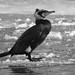 Skarv, Great cormorant, Kormoran (Phalacrocorax carbo)-0356