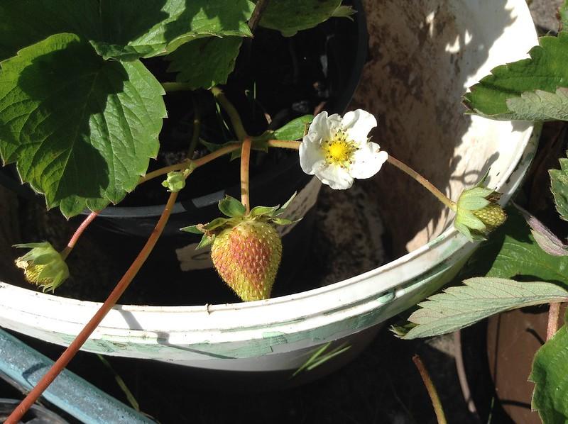 Autumn Strawberries!