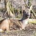 Rådyr, Roe deer, Reh (Capreolus capreolus)-1138