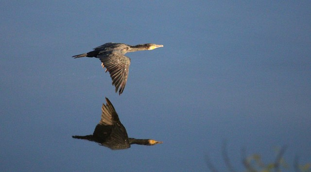Cormorant flying low over Duero with reflection