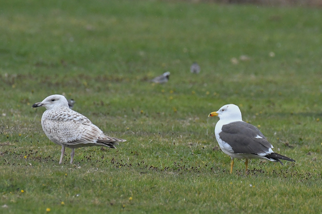 Sildemåge, Lesser black-backed gull, Heringsmöwe (Larus fuscus)-2119
