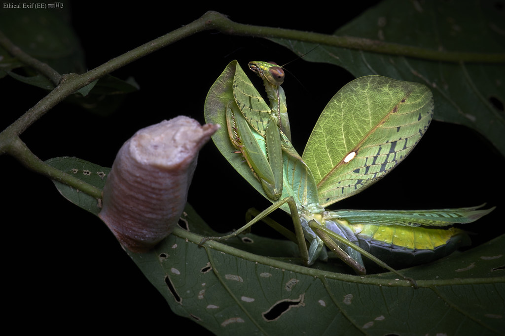 Leaf mantis with ootheca